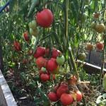 Кардио – сорт томата