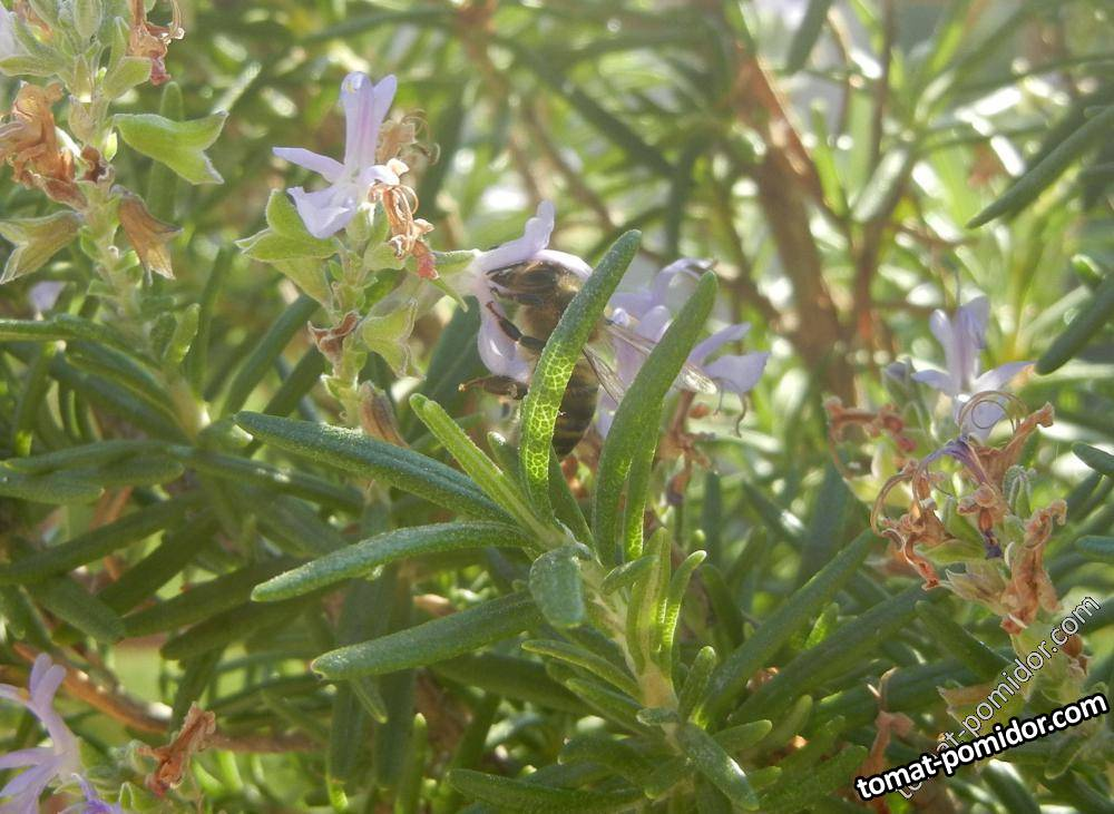 пчелкам нравится розмарин