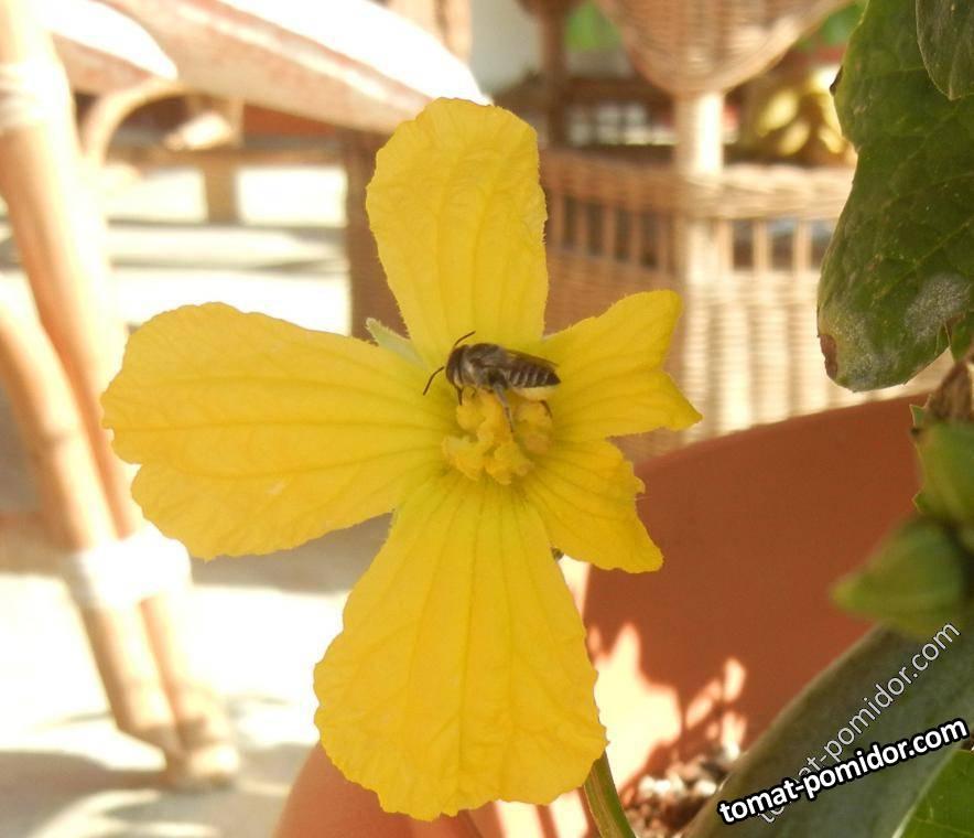 Странное у этой пчелы желтое брюшко, наверное и не пчела это..