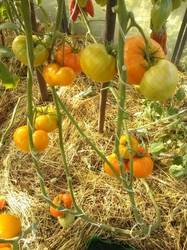 Оранжевая клубника.jpg