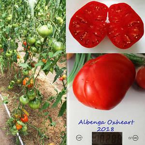 Albenga Oxheart.jpg