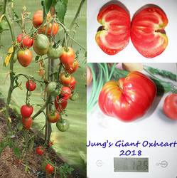 Jung's Giant Oxheart.jpg