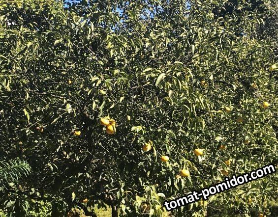Какой-то гибрид мандарина с грепфрутом