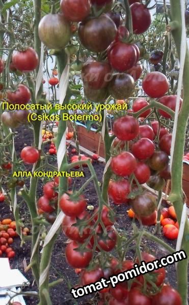 Полосатый высокий урожай (Csikos Botermo (3).jpg
