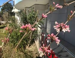 вейгела цветёт