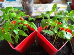 вот так взошли мои Хорошие сладкие перчики из семян 2012г.jpg