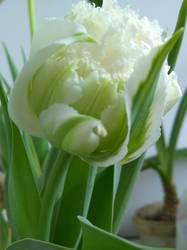 тюльпан Сноу Кристал1.jpg
