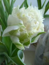 тюльпан Сноу Кристал.jpg