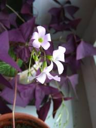 цветет оксалис.jpg
