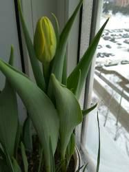 зацветает тюльпан возможно Монселла.jpg