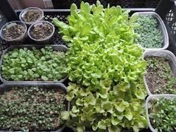 салаты и цветы через 10 дней.jpg