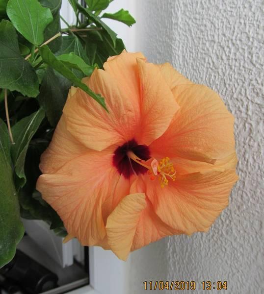 Гибискус или китайская роза.JPG