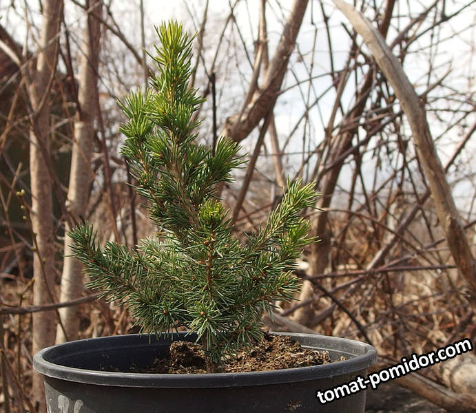 Picea glauca Conica, 2 года