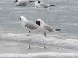 Чайки на озере.JPG
