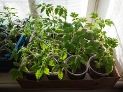 2019-04-12_08-52-08_074 Ранние томаты:Суперклуша,Филиппок,Бонер Бесте