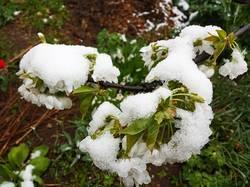 2019-04-18_19-35-55_206 Снег на цветах черешни