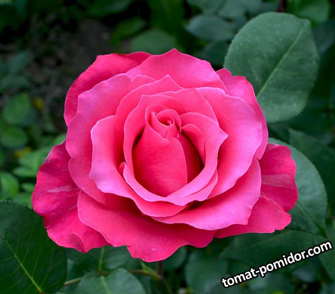 роза розовая.jpg