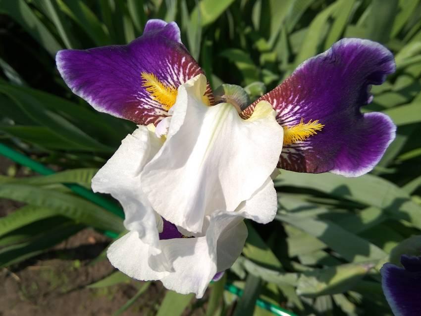 ирисы белые с фиолетовым1.jpg