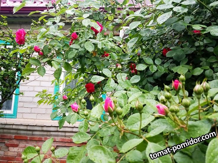 2019-05-20_18-54-04_686 Вьющаяся роза