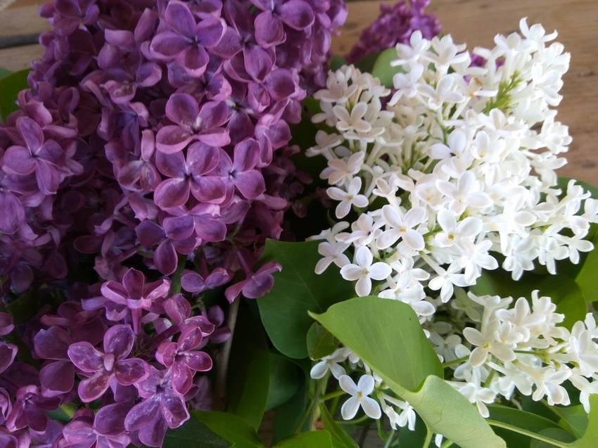 цветы сиреней.jpg