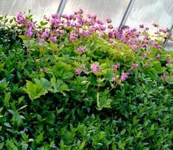 герань садовая розовая.jpg