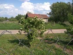 цветет калина за забором.jpg
