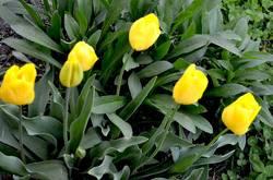 жёлтые тюльпаны.jpg