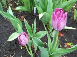 доцветают тюльпаны13.jpg