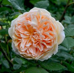 роза Остина.jpg