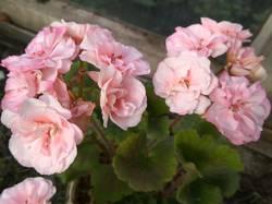 пеларгония махровая розовая1.jpg