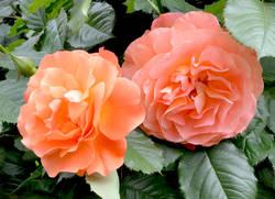 роза оранж..jpg
