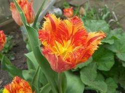 доцветают тюльпаны12.jpg