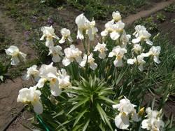 ирисы белые ну очень дружно цветут.jpg