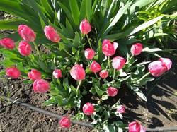 доцветают тюльпаны15.jpg