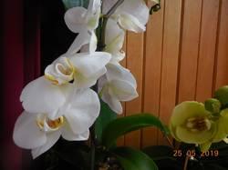 Белая орхидея.