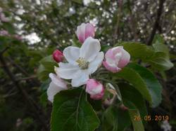 Яблонька цветёт