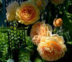 Розы Остина Принцесса Маргарет.jpg