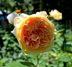 Роза Остина Принцесса Маргарет.jpg
