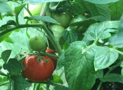 первый урожай - созрел Июньский