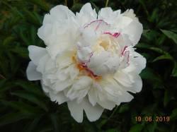 Пион белый, самый ароматный