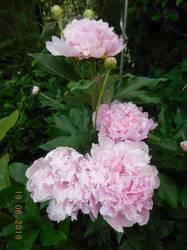 Розовый в тени яблонь