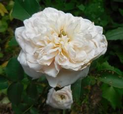 Роза карликовая