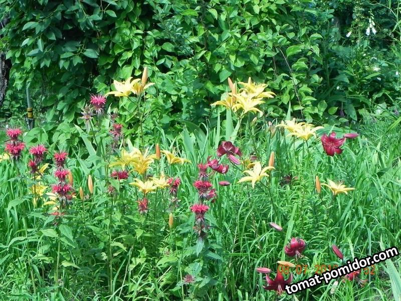 Азиатские лилии с монардой.jpg