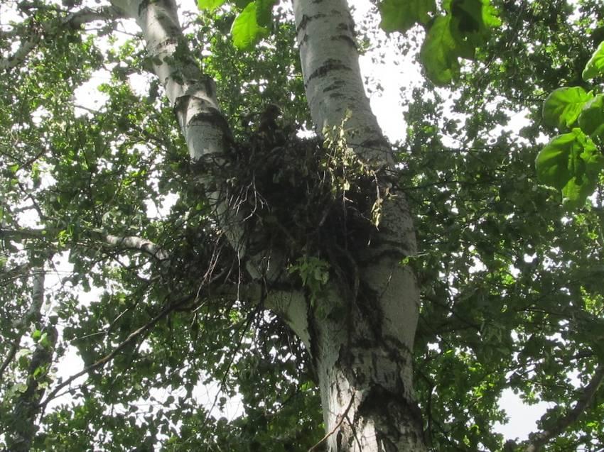 гнездо ястреба.jpg