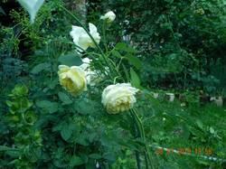Роза пилигримм.jpg