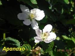 Цветок Арапахо