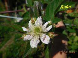 Цветок Дойл