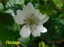 Цветок Полара