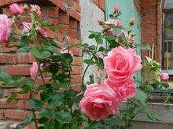 Любимица-роза