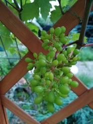 виноградик -первая кисточка